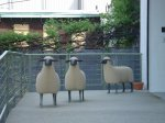 Sheep - entrance to FLCA