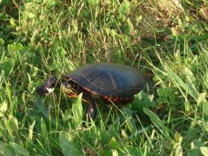 Block Island turtle